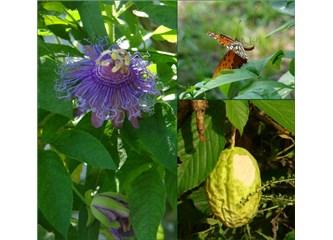 Biyomedikal bitkiler- XVIII; Çarkıfelek Çiçeği (Passiflora incarnata)