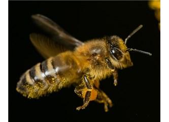 Bir Kuran mucizesi paylaşalım: Dişi arıya bal yapması vahyedildi...