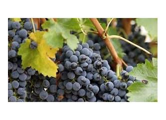 Son üzümler mevsimi: Ekim