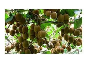 Güz meyvesi Kivi'nin sağlığımıza katkıları...