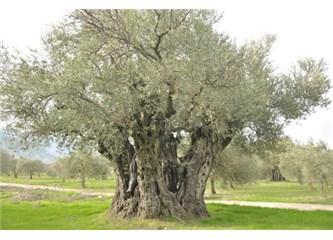 Asırlık zeytin ağacı