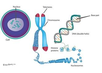 Ömrü belirleyen kromozom şapkaları - Telomore