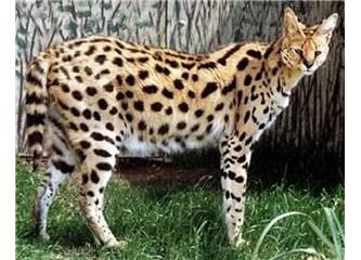 Serval Kedileri