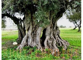 Zeytin ağacının altında
