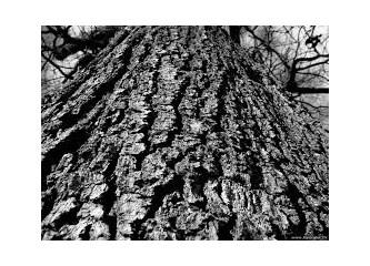 Eski zamanlardan gelen bir elyazması der ki; Ağacı kesmeden önce...