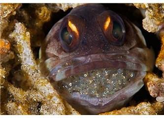 Bir balık 400 tane yavru balığı ağzında taşıyabilir mi?