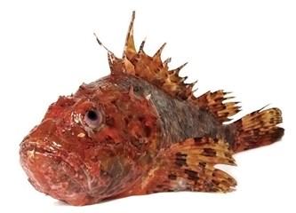 İskorpit balığı hakkında kısa bir bilgi ve buğulaması!