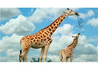 Zürafanın uzun boylu oluşu yüksek dallara ulaşsın diyedir de biz ona nasıl ulaşacağız?