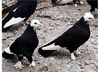 Beyaz güvercinler siyah