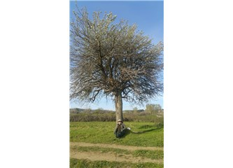 Ahlat ağacı