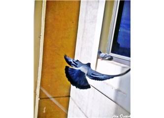 Sana güvercin yolladım