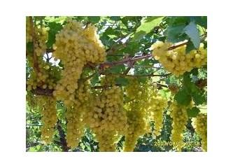 İlkbaharda üzümlerin beslenmesi - ipuçları ve püf noktaları