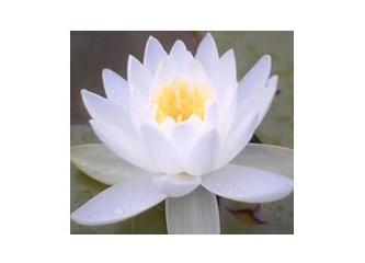Saflığın ve temizliğin simgesi Lotus (Nilüfer) Çiçeği