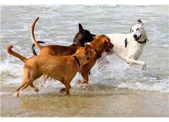 Plajlarda başıboş köpekler cirit atıp tehlike saçıyorlar