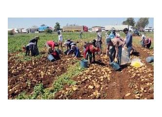 Patates oyunları 1 (çiftçi bakışı)