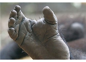 Evrim Teorisi nedir? Maymun ayak tabanı Evrim yok diyor