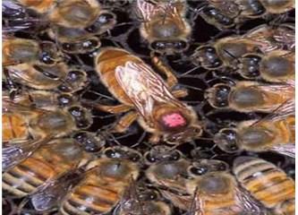 Süzme sözcükler: (Haiku) Kraliçe arı.
