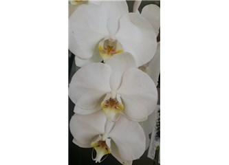 Beyaz orkidem…