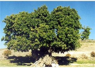 Mani. 20: Dut ağacı