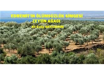 Edremit'in ölümsüzlük simgesi zeytin ağacı