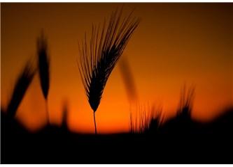 Buğday Tanesi..