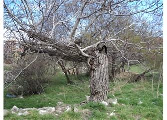 Yaşlı Ceviz Ağacı
