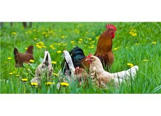 Saldırgan Öfkemizi; Öfkeli Hayvanların Eti, Sütü, Yumurtası mi Tetikliyor?