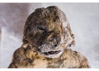 Bilim Adamları 12.000 Yıl Önce Soyu Tükenmiş Bir Aslan Türünü Hayata Döndürmeye Çalışıyor…