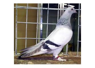 Muhabbet Kuşu Besliyorsanız Dikkat Edilecek Bazı Hususlar
