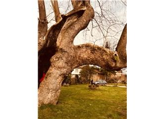 Ben Bir Çınar Ağacıyım