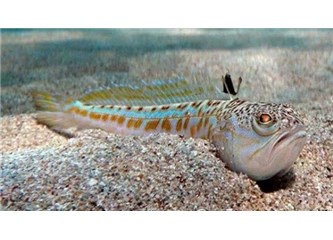 Trakonya Balığı