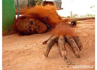 Fahişe Orangutanlar