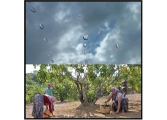 Meteorolojinin Yanılgısı Aydınlı İncircilere Kırbaç Etkisi Yaptı!