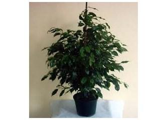 Ficus Benjamin Bitkisi Neden Yapraklarını Döker?