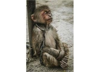 Teflon Tavada, Sütten Yeni Keslimiş Maymun Ciğeri Tarifi