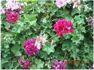 bahçem ve çiçeklerim
