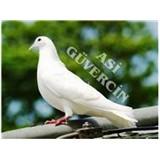 Asi Güvercin
